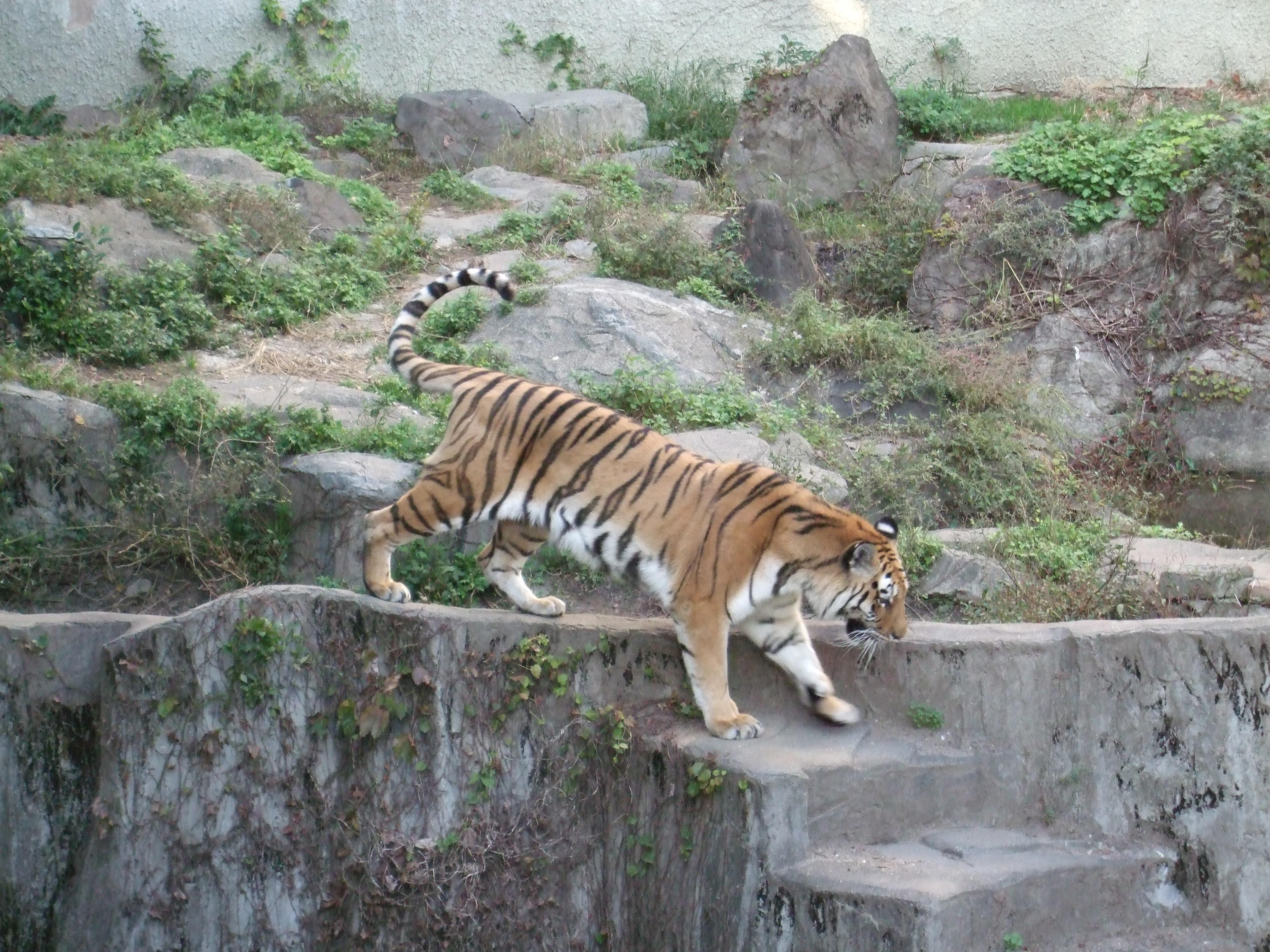 Tiikeri tennoujin eläintarhassa