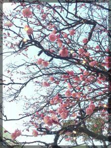 Persikka kukkii jo näin kauniisti Tokio Sky Treen kupeessa.