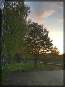 Koivuja auringonlaskussa Hokudain kampuksella. Aika Suomi-fiilis tästä tulee.