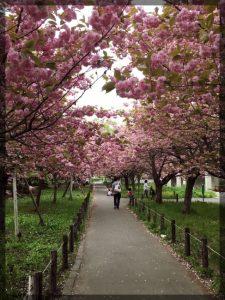 Kirsikatkin kukkivat jo. Tässä kukkaloistoa Hokudain kampuksella. Kuvassa on yaezakura eli kahdeksasti kerrattu kirsikankukka.