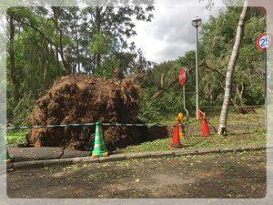Tällaisia isoja puita oli kaatunut useita Hokkaidon yliopiston kampuksella taifuunissa.